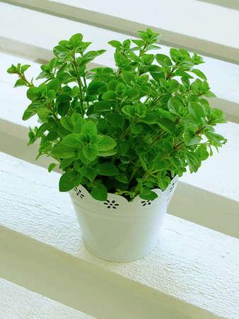 Oregano-Pflanze im Topf