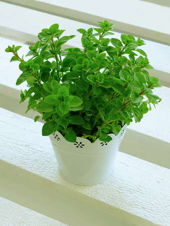 oregano plant in pot