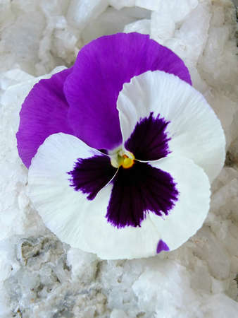 Image of purple and white pansy Standard-Bild