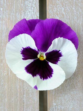 Bild von lila und weißen Stiefmütterchen Lizenzfreie Bilder