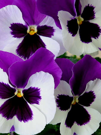 Image of purple and white pansies