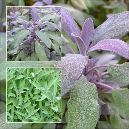 Eine Collage von Salbei Pflanzen