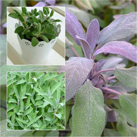 A collage of sage plants Standard-Bild
