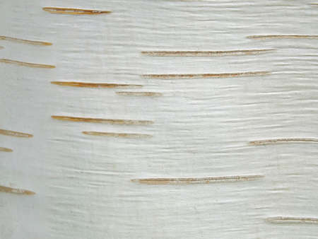 Image of a birch bark Standard-Bild