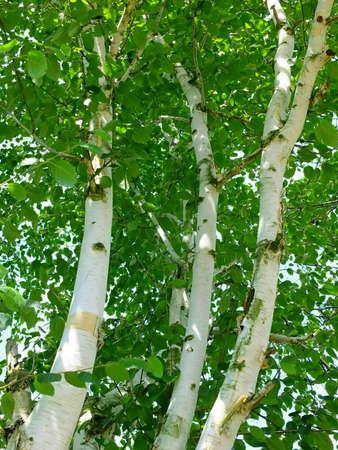 birchbark: Image of birch trees in germany