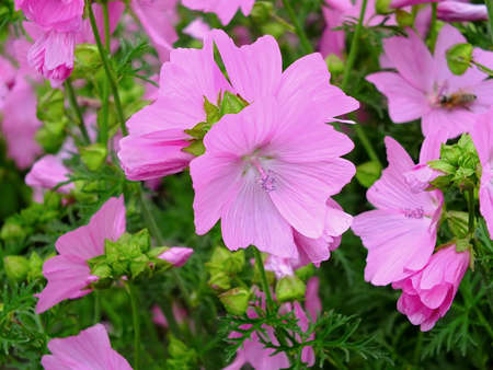 Image of blooming mallow Standard-Bild