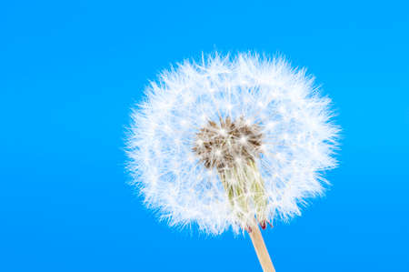 close-up of a blowball with blue background
