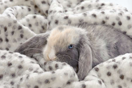 little bunny hiding in a blanket