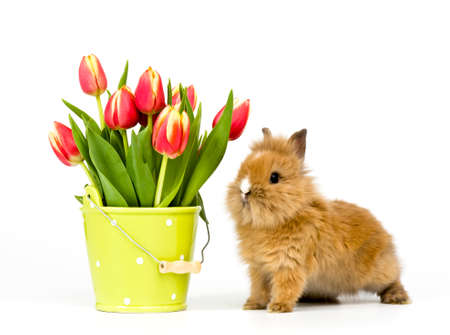 one baby rabbit with a flower pot and tulips on white background photo