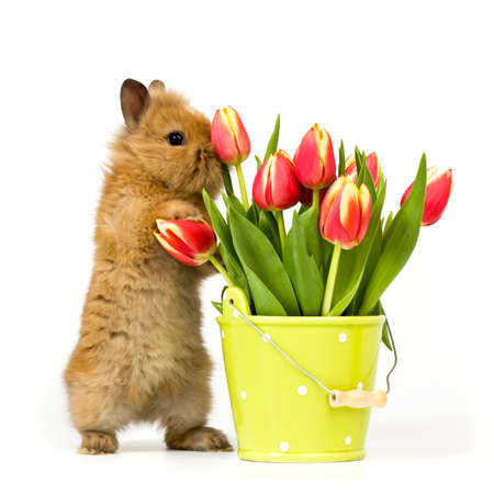 one baby rabbit with a flower pot and tulips on white background