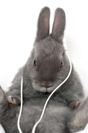 a gray rabbit listening with earphones Stock Photo