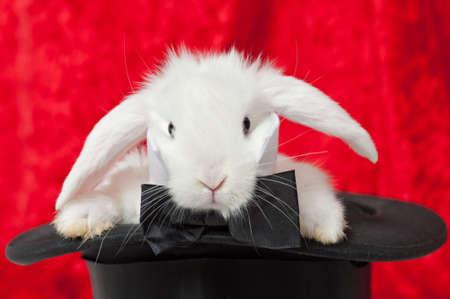cortinas rojas: un conejo blanco en un sombrero de copa con cortinas rojas en el fondo Foto de archivo