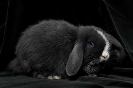 black baby rabbit on black velvet background