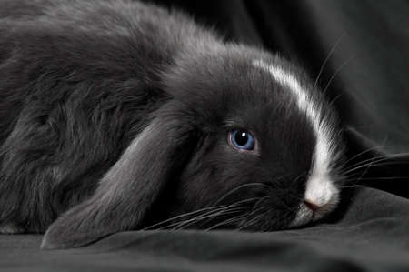 black baby rabbit on black velvet background