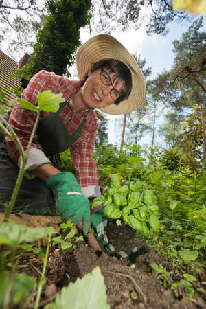 woodruff: a woman working in the garden, planting herbs Stock Photo
