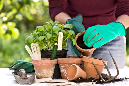 closeup of a womans hands planting herbs in pots Stock Photo