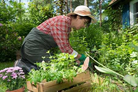sweet woodruff: a woman working in the garden, planting herbs Stock Photo