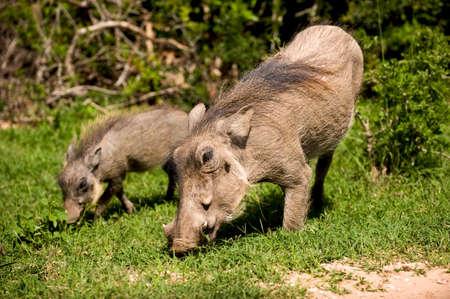 exploratory: wild pigs eating grass