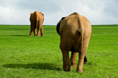 exploratory: a groupe wilde epephants in Africa Stock Photo
