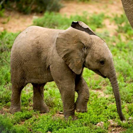 exploratory: a wilde baby epephants in Africa