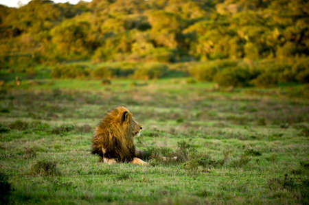 a wild lion in Africa Stock Photo