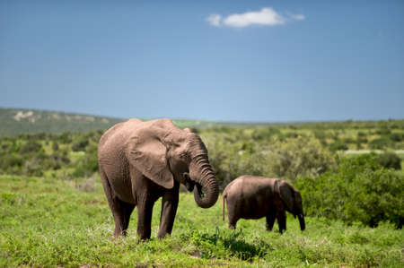 exploratory: wild elephants on a safari trip in Africa