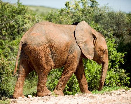 exploratory: wild elephants on a safari trip in Africa