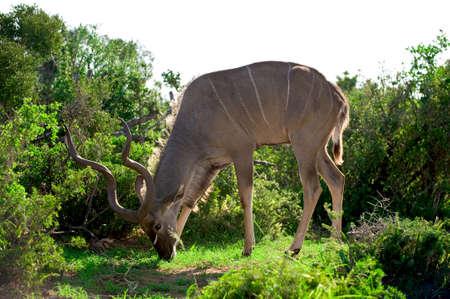 foreign bodies: a wild Kudu in Africa