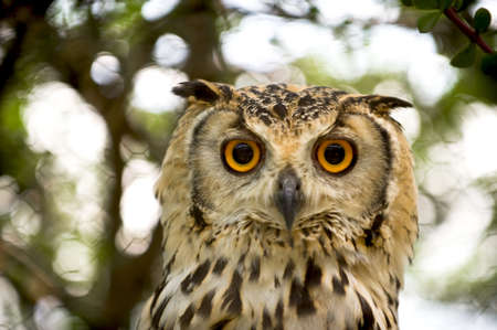 strongly: owl with orange eyes sitting in a tree Stock Photo