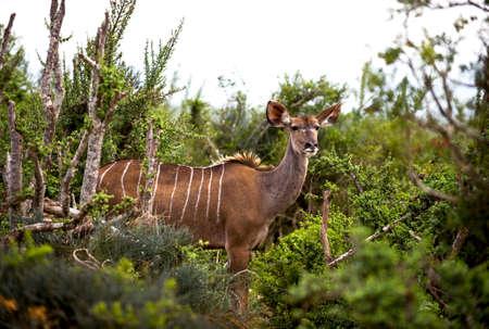 exploratory: a wild Kudu in Africa