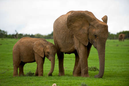 exploratory: a wild elephant mother with a baby elephant