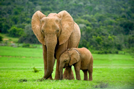 a wild elephant mother with a baby elephant