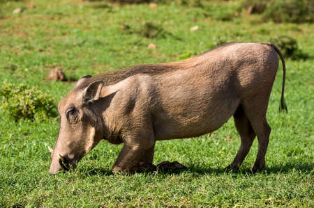 exploratory: wild pig eating grass