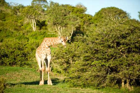 exploratory: a wild giraffe in Africa