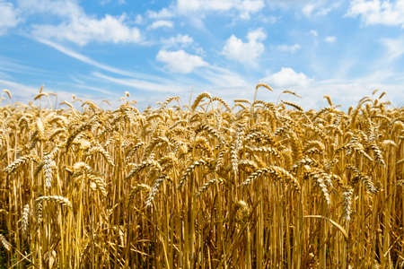 feld: Weizenfeld mit blauem Himmel und Wolken Stock Photo