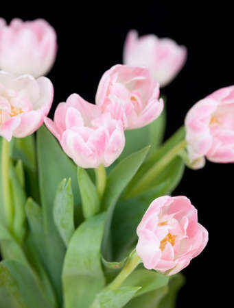pink tulips against a black background
