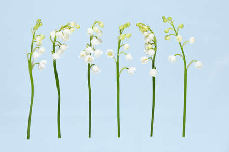 Lilies of the Valey side by side on light blue background