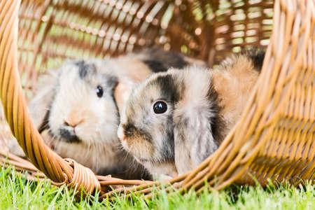 conejo: dos conejos se sientan en una cesta en el jard�n