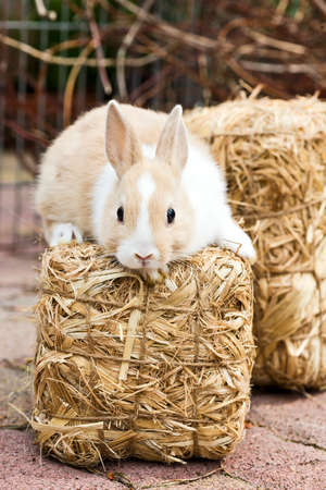 domestic animals: little rabbit  sitting on a hey bale in the garden Stock Photo