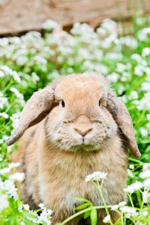 sweet woodruff: brown rabbit with fluffy ears sitting in the garden between sweet woodruff Stock Photo
