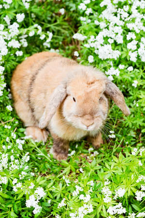 countryside loving: brown rabbit with fluffy ears sitting in the garden between sweet woodruff Stock Photo