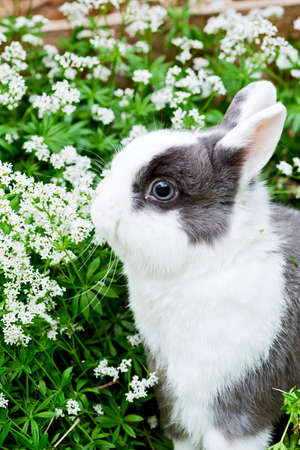sweet woodruff: a young black and white rabbit sitting in the garden between sweet woodruff