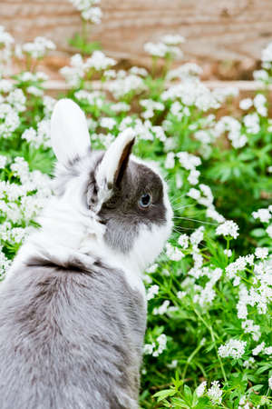 woodruff: a young black and white rabbit sitting in the garden between sweet woodruff