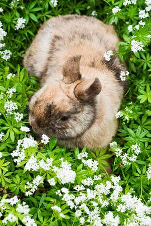 sweet woodruff: a brown rabbit sitting in the garden between sweet woodruff