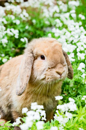 woodruff: brown rabbit with fluffy ears sitting in the garden between sweet woodruff Stock Photo