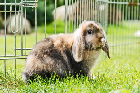 pygmy: little rabbit behind a fence in the garden