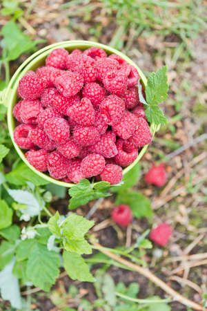 a bucket full of red raspberries from the garden
