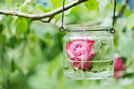 a single red rose swimming in a glass in a tree Stock Photo