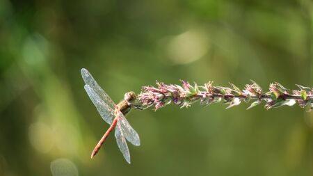 odonata: dragonfly on plant, odonata