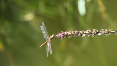 odonata: Odonata
